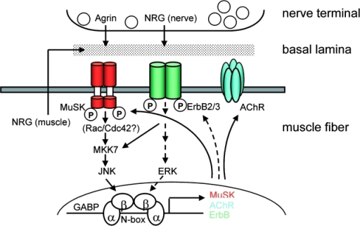 Model for stabilization of synaptic gene expression through stabilization of musk expression by agrin from motor nerve terminal. Agrin secreted from nerve terminal activates preexisting MuSK to induce expression of musk via its N-box (i) by organizing an NRG/ErbB pathway, involving MuSK-induced recruitment of ErbB receptors and of muscle-derived NRG and (ii) by MuSK-induced activation of JNK (via Rac/Cdc42). With musk expression stabilized, the same pathways are used for AChR and erbB expression. Expression may be strengthened by NRG-1 secreted from nerve terminal. Complete inhibition of Agrin-induced musk transcription in C2C12 cells by overexpression of inactive ErbBs (HER2KM and HER4KM) and by dominant-negative JNK suggests that the two pathways are connected. The model is based on present data (solid arrows) and references cited (broken arrows).