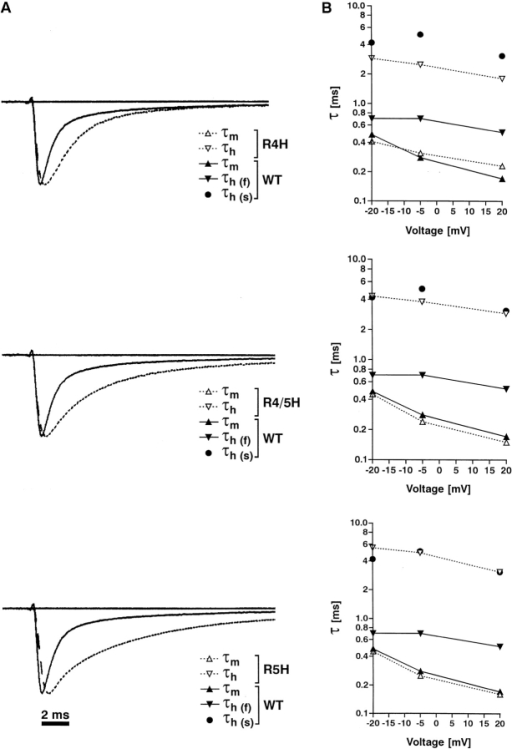 Effects of S4D4 point mutations on kinetics and on voltage dependence of macroscopic Na+ currents. (A) Comparison of normalized single current traces of WT (solid line) and mutant (dotted line) channels, elicited by a depolarizing pulse to −5 mV from a −100-mV holding potential. The settling times of the corresponding capacitance transients are almost identical (data not shown). (B) Semilogarithmic plots of single (mutants) or double (WT inactivation) exponential fits, as indicated, from representative current traces elicited by depolarizing pulses to −20, −5, and 20 mV; holding potential −100 mV. Single fits accord to the following equation. INa(t) = A * (1 − exp (−t/τm))3*exp(−t/τh) + P * (1 − exp(−t/τm))3. WT: (τm/τh (fast)/τh (slow) in ms) 0.48/0.70/4.20 (−20 mV); 0.28/0.70/5.10 (−5 mV); 0.17/0.51/3.10 (20 mV); R4H: (τm/τh in ms) 0.41/2.90 (−20 mV); 0.31/2.50 (−5 mV); 0.23/1.80 (20 mV); R4/5H: (τm/τh in ms) 0.45/4.30 (−20 mV); 0.24/3.80 (−5 mV); 0.15/2.90 (20 mV); R5H: (τm/τh in ms) 0.45/5.50 (−20 mV); 0.25/4.90 (−5 mV); 0.16/3.10 (20 mV).