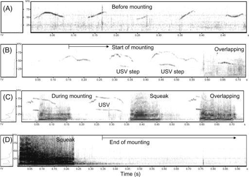"Coincidence of mounting behaviour and production of USVs by males and squeaks by females in Exp. 4.Coincidence of mounting behaviour and production of USVs and squeaks were analyzed by comparing the sonograms of mouse calls before, during, and after mounting behavior with simultaneously recorded videos as described in Materials and Methods. (A) Representative USVs emitted by male mice before mounting. (B) Male USVs shifted from ""sine"" to ""step-like"" USVs after initiation of male- mounting-female. (C) Coincidence of frequency-modulated ""step-like"" USVs emitted by male mice and squeaks produced by female mice during mounting/intromission. (D) No call was detected within about 10 sec after the end of mounting (full data not shown)."