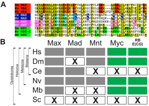 "The RiBi-E(CG) regulon occurs only in Myc-bearing holozoan genomes. (A) Specific amino acid residues in holozoan MAX (red), MAD (blue), MNT (pink), and MYC (green) allow identification among the MYC/MAX superfamily bHLH genes (common superfamily residues in yellow and underlined). Only three bHLH genes were found in the choanoflagellate genome of Monosiga brevicollis: Mb-MYC, MbMAX and MbMUSH, corresponding to Myc and Max orthologs, and a distant MITF/USF/SREBP homolog (not shown). No Myc and Max orthologs were found outside of Holozoa. The predicted amino acid sequences of the bHLH regions of the M. brevicollis Myc/Max family of genes are shown aligned to Drosophila, Caenorhabditis, and Nematostella orthologs. (B) The presence of Myc (green filled boxes) is correlated with multiple genomes possessing the E(CG)-RiBi signature (green filled boxes). Other bHLH genes in the Myc superfamily (Max, Mad, Mnt; gray filled boxes) are either not necessary (Mad or Mnt) or insufficient (Max) to explain the occurrence of E(CG) sites in the RiBi regulon. ""X"" boxes indicate absence of a gene or E(CG) signature as indicated."