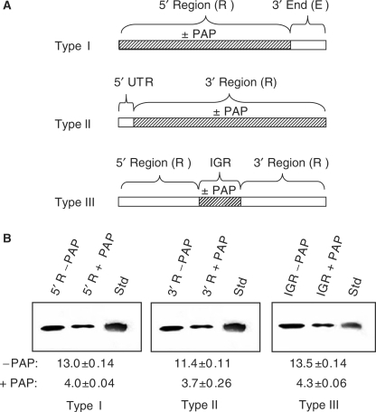 Effect of depurination location on replicase activity in vitro. Regions of RNA3 were treated with PAP and then ligated to the remaining RNA to regenerate full-length RNA3 used as template in the replicase assay. (A) For the type I template, the 5′ region was PAP-treated or untreated and ligated to the remaining 3′ end, which was untreated. For the type II template, the 3′ region was PAP-treated or untreated and ligated to the 5′ UTR, which was untreated. For the type III template, the intergenic region was PAP-treated or untreated and ligated to the remaining 5′ and 3′ regions. (B) Synthesis of RNA3 following the replicase assay using the template RNAs described in (A). The radiolabeled RNA products were separated in a 7 M urea/12% acrylamide gel and visualized by autoradiography. Std represents radiolabeled, positive-strand RNA3 in vitro transcript to serve as a size marker. Values are means of intensities ± SE for three separate experiments quantified with a phosphorimager.