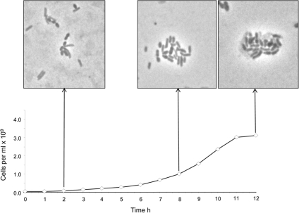 Observation of interspecies interactions between M1 and B. proteoclasticus B316.Graph displays growth rate of M1 in co-culture with B316. Microscopic images taken at 2, 8 and 12 h post innoculation of B316 (lighter, rod-shaped organism) into BY+ (+0.2% xylan) media containing a mid-exponential M1 culture (darker, short ovoid rod-shaped organism). Growth as determined by Thoma slide enumeration is shown along with sampling time.