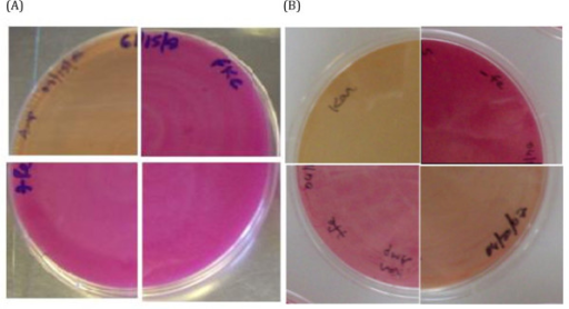 Fur Titration Assays (FURTA). (A) Complementation of an E. coli fur mutant H1780 by N. europaea Fur homologs.E. coli H1780 (pFur616)-upper left quadrant; H1780 (pFur616-kanC)-upper right quadrant; H1780 (pFur730)-lower left quadrant; H1780 (pFur1722)-lower right quadrant plated on McConkey medium with 30 μM Fe supplement and grown at 37°C for 24 hrs. (B) E. coli H1717 plated on McConkey medium with 30 μM Fe supplement-upper left quadrant, no Fe supplement-upper right quadrant; H1717 (pFur616)-lower left quadrant; H1717 (pFur616-kanP)-lower right quadrant plated on McConkey medium with 30 μM Fe supplement and grown at 37°C for 24 hrs.