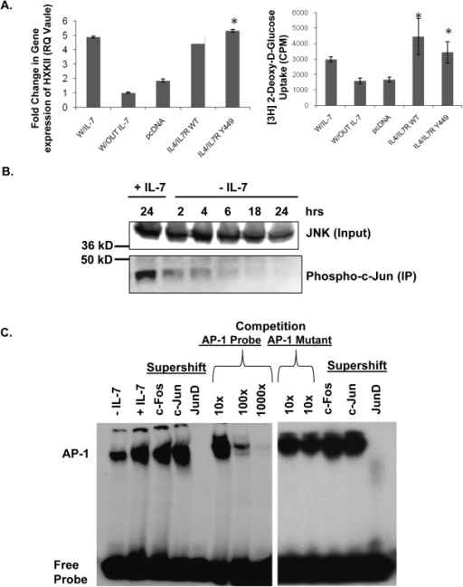 IL-7 signaling induces JNK activity and promotes JunD-containing AP-1 complexes.(A) (Left panel) Quantitative PCR evaluation of HXKII gene expression in the IL-7 dependent T-cell line, D1, after culture with or without IL-7. D1 cells were also nucleofected with a chimeric IL-4/IL-7 receptor (IL-4/IL-7R WT), a chimeric IL-4/IL-7 receptor with a mutation in Y449 (IL4/IL7R Y449) or an empty vector (pcDNA), and stimulated with IL-4, as described in Methods. (Right panel) In cells treated as described above, glucose uptake was assessed by measuring the accumulation of radiolabeled 2-DOG as stated in Methods. (*) indicates a P value of <0.05. (B) To assess JNK kinase activity in response to IL-7, a kinase assay was performed. JNK was immunoprecipitated from whole cell lysates prepared from D1 cells cultured in the presence or absence of IL-7 for the times indicated and the capacity to phosphorylate the kit-supplied substrate, c-Jun, measured as indicator of kinase activity. As input control, pre-immunoprecipitation levels of JNK in lysates are shown. (C) Nuclear lysates prepared from D1 cells grown with or without IL-7 for 18 hours were assayed for AP-1 complex binding to DNA by EMSA, using a radiolabeled DNA probe containing the AP-1 consensus binding site. Supershifts were performed with antibodies specific for c-Fos, c-Jun or Jun-D. Competition was also performed using 10×, 100× or 1000× excess unlabeled AP-1 probe or AP-1 mutant probe. Results (A, B, and C) are representative of three or more independent experiments (values in graphs are mean ± SD).