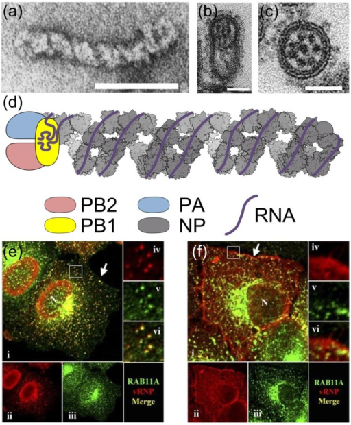 The influenza A virus ribonucleoprotein (RNP). The negative-sense RNA of the influenza A virus genome is divided into eight segments, each of which is encapsidated into an RNP. Electron micrographs showing (a) a negatively-stained RNP and (b) longitudinal and (c) transverse views of budding virions; scale bars are 50 nm. In (b) and (c) a complex of eight RNPs is visible as dark rods or dots. (d) Diagram of RNP structure. The NP backbone is based on reference [9] (PDB 4BBL, illustrated using the Python Molecular Viewer [14]); the polymerase and viral RNA, including the terminal promoter structure bound by PB1, are shown schematically. (e, f) Localisation of RNPs in an infected cell. Infected cells were fixed at 7 h (e) or 11 h (f) post-infection, and labelled with antibodies against RNPs (red, ii and iv) and the Rab11 isoform Rab11A (green, iii and v). The selected regions are enlarged 3× in frames iv, v and vi. As the infection progresses RNPs are exported from the nucleus (N) and associate with Rab11 in a perinuclear region for transport across the cytoplasm, then dissociate from Rab11 at the plasma membrane (arrow). Images in (a) reprinted from [15] with permission from Elsevier; in (b, c) adapted by permission from Macmillan Publishers Ltd: Nature [16], copyright (2006) and in (e, f) reproduced from [17] with permission from American Society for Microbiology.