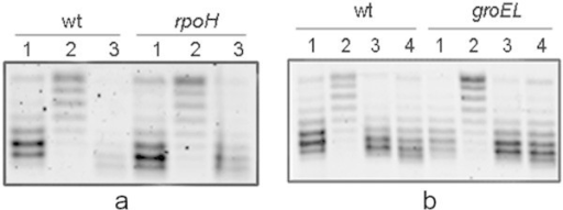 DNA gyrase reactivation in stationary-phase cells with low levels of the main chaperones. Cells were grown in LB-MOPS medium at 30°C. Strains used included the following: a) BB7222 (wild type) and BB7224 (ΔrpoH), and b) C600 (wild type) and CAG9310 groEL140 bearing the reporter plasmid pMS01. Strain BB7224 expresses very low levels of the main cellular chaperones, except for GroE, while CAG9310 carries the temperature-sensitive groEL140 mutation. To induce the recovery of the DNA SC level in stationary-phase cells, cell cultures were diluted in pre-warmed LB-MOPS medium. a: 1) Exponentially growing cells, 2) 48 hr stationary-phase cells, and 3) stationary-phase cells diluted 1:10 in LB-MOPS at 30°C and incubated for 5 min. b: 1) Exponentially growing cells, 2) 48 hr stationary-phase cells, 3) stationary-phase cells diluted 1:30 in LB-MOPS at 30°C and incubated for 5 min, and 4) stationary-phase cells diluted 1:30 in LB-MOPS at 43°C and incubated for 5 min. Before dilution in LP-MOPS at 43°C, SP cell cultures were incubated for 15 min at 43°C. Plasmid topoisomers were isolated and separated on 1% agarose gels containing 10 μg/mL chloroquine. Migration proceeded from top to bottom. Topoisomers more supercoiled migrated more rapidly in the gel. Similar results were obtained in at least three independent experiments.