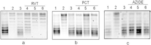 Effect of ATPase inhibitors resveratrol (RVT), piceatannol (PCT) or sodium azide on DNA gyrase reactivation in MC4100 stationary-phase cells. Cells were grown at 37°C in LB-MOPS medium. To induce the recovery of the DNA SC level, cell cultures were diluted 1:10 in pre-warmed LB-MOPS medium with or without the inhibitor. a: 1) Exponentially growing cells, 2) 48 hr stationary-phase cells, 3) stationary-phase cells diluted in LB-MOPS media and incubated 1 min, 4), 5) and 6) stationary-cells diluted in LB-MOPS with RVT 400 μM, 1.2 mM, or 2.0 mM, respectively. The diluted cultures were incubated 1 min. b: 1) Exponentially growing cells, 2) 48 hr stationary-phase cells, 3) stationary-phase cells diluted in LB-MOPS and incubated 1 min, 4), 5) and 6) stationary-phase cells diluted in LB-MOPS with PCT 100 μM, 200 μM or 300 μM, respectively. The diluted cultures were incubated 1 min. c: 1) Exponentially growing cells, 2) 48 hr stationary-phase cells, 3) stationary-phase cells diluted in LB-MOPS and incubated 10 min, 4) stationary-phase cells diluted in LB-MOPS-sodium azide 3 mM and incubated 10 min, 5) stationary-phase cells diluted in LB-MOPS-sodium azide 5 mM and incubated 5 min, 6) stationary-phase cells diluted in LB-MOPS-sodium azide 5 mM and incubated 10 min. Plasmid topoisomers were isolated and separated as described in Figure 1. Similar results were obtained in at least three independent experiments.