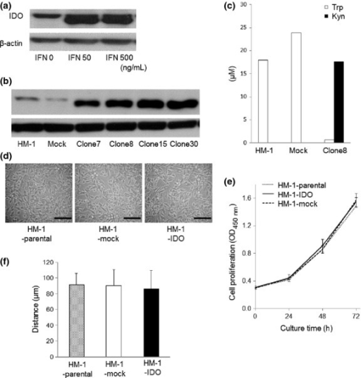 (a) Western blot analyses of indoleamine 2,3-dioxygenase (IDO) expression in interferon-γ (IFN-γ)-treated mouse ovarian carcinoma OV2944-HM-1 (HM-1) cells. Treatment with IFN-γ enhanced IDO protein expression. (b) Establishment of IDO-overexpressing HM-1 cells. Western blot analyses of IDO expression in stable clones of HM-1 cells transfected with mouse IDO cDNA (HM-1-IDO). (c) Evaluation of IDO enzymatic activity by measuring the concentrations of tryptophan (Trp) and its main catabolite, kynurenine (Kyn), in the conditioned medium using HPLC. Representative results from three independent experiments are shown. (d) Morphological views of HM-1-parental, control vector-transfected (HM-1-mock), and HM-1-IDO cells. Bar = 50 μm. (e) In vitro cell proliferative activity of HM-1-parental, HM-1-mock, and HM-1-IDO cells. Mean ± SD from three independent experiments are shown. O.D., optical density. (f) In vitro cell migratory potential of HM-1-parental, HM-1-mock, and HM-1-IDO cells evaluated by wound healing assay after 24 h. Mean ± SD from three independent experiments are shown.