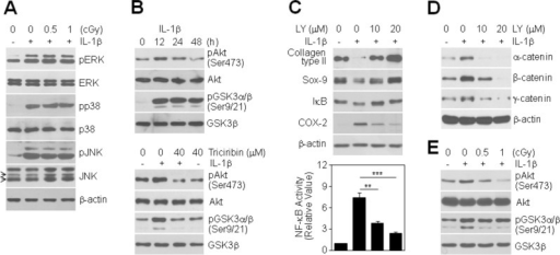 Involvement of PI3K/Akt signaling in LDR-induced inhibition of chondrocyte destruction. (A): Chondrocytes were treated with 0.5 or 1 cGy of LDR in the absence (−) or presence (+) of 10 ng/mL IL-1β for 20 min. Expression and phosphorylation status of ERK, p38, and JNK were determined by Western blotting. (B): Chondrocytes were treated with 10 ng/mL IL-1β for the indicated times (top), with or without pretreatment with 40 μM Triciribine for 1 h prior to IL-1β treatment (bottom). Expression and phosphorylation status of Akt and GSK3α/β were determined by Western blotting. (C, D): Chondrocytes were left untreated or were pretreated with 10 or 20 μM LY294002 for 1 h prior to treatment with 10 ng/mL IL-1β. After 48 h, the levels of type II collagen, Sox-9, I-κB, and COX-2 proteins were assessed by Western blotting (C, top). NF-κB transcriptional activity was determined by reporter gene assay. Data are expressed as means ± SDs (**P < 0.005 and ***P < 0.0005 compared to cells treated with IL-1β alone (C, bottom). Levels of catenin proteins were detected by Western blotting (D). (E): Chondrocytes were treated with 0.5 or 1 cGy of LDR for 12 h in the absence (−) or presence (+) of 10 ng/mL IL-1β. Expression and phosphorylation status of Akt and GSK3α/β were determined by Western blotting.