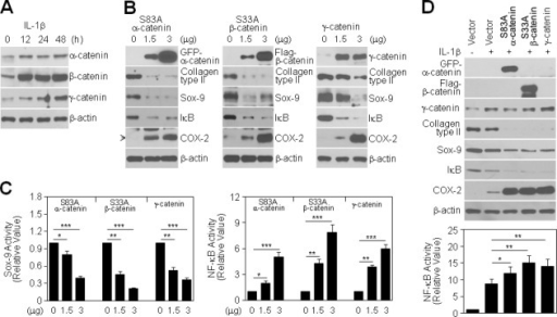 Role of IL-1β-induced catenin proteins in chondrocyte destruction. (A): Chondrocytes were treated with 10 ng/mL IL-1β for the indicated periods. Levels of catenin proteins were detected by Western blotting. (B, C): Chondrocytes were transiently transfected with GFP-tagged S83A α-catenin, FLAG-tagged S33A β-catenin, or wild-type γ-catenin, as indicated, for 48 h without (B) or with a Sox-9 (C, left) or NF-κB reporter gene (C, right). Levels of differentiation- and inflammation-associated proteins were determined by Western blotting (B), and Sox-9 or NF-κB transcriptional activity was determined by reporter gene assay. Data are expressed as means ± SDs (*P < 0.05, **P < 0.005, ***P < 0.0005 compared with untransfected controls) (C). (D): Chondrocytes were transiently transfected with 3 μg of each catenin plasmid, as indicated, for 24 h and then left untreated (−) or treated (+) with 10 ng/mL IL-1β for an additional 48 h. Levels of differentiation- and inflammation-associated proteins were determined by Western blotting (top), and NF-κB transcriptional activity 24 h after IL-1β treatment was determined by reporter gene assay. Data are expressed as means ± SDs (*P < 0.05 and **P < 0.005 compared with cells treated with IL-1β alone) (bottom).
