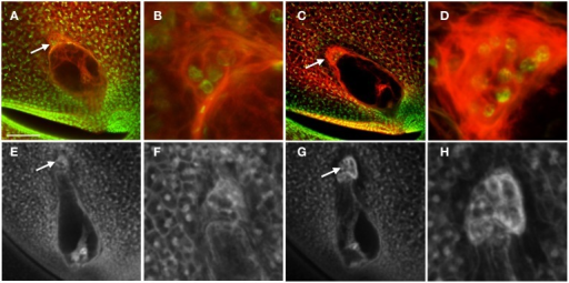 Effect of Lxm mutations on embryo sac development. (A–D) Embryo sacs from a Lxm1-O/+; W23 heterozygote fixed in FAA and stained with Acriflavine and Propidium Iodide and (E–H) Embryo sacs from a Lxm*-N2530 heterozygote in a hybrid genetic background fixed in FAA. (A,B,E,F) Embryo sacs with abnormal antipodal cell clusters. (C,D,G,H) Normal sibling embryo sacs for each mutant line. (B,D,F,H) are magnifications of the antipodal cells in (A,C,E,G), respectively. Arrows indicate antipodal cell cluster. Scale bar = 100 μm (A,C,E,G) and = 33 μm (B,D,F,H).