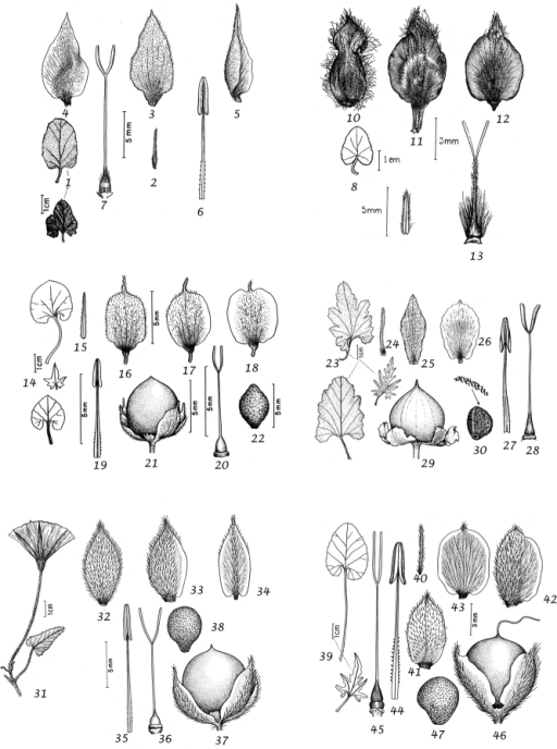 1–7Convolvulusgalaticus1 leaves 2 bracteole 3 outer epal 4 middle sepal 5 inner sepal 6 stamen 7 ovary and style 1 from Siehe 182 (W) 2–7 from Bourgeau 171 (W) 8–13Convolvulusgermaniciae8 leaf 9 bracteole 10 outer sepal 11 middle sepal 12 inner sepal 13 ovary and style. From Haussknecht s.n. (W) 14–22Convolvuluscoelesyriacus14 leaves 15 bracteole 16 outer sepal 17 middle sepal 18 inner sepal 19 stamen 20 ovary and style 21 capsule 22 seed 14 from Davis 2979 (E) 15–20 from Davis 3033 (E) 21–22 from Meyer & Dinsmore 3619 (L) 23–30Convolvulusalthaeoidessubsp.althaeoides23 leaves 24 bracteole 25 outer sepal 26 inner sepal 27 stamen 28 ovary and style 29 capsule 30 seed 23–28 from van Soest 131 (L) 29–30 from Boulos s.n. (CAIM) 31–38Convolvuluspitardii 31leaf and flower showing short peduncle and bracteoles 32 outer sepal 33 middle sepal 34 inner sepal 35 stamen 36 ovary and style 37 capsule 38 seed 31 from Souvage 2412 (RAB) 32–36 from Souvage 2413 (RAB) 37–38 from Souvage 14933 (RAB) 39–47Convolvulusglaouorum39 leaves 40 bracteole 41 outer sepal 42 middle sepal 43 inner sepal 44 stamen 45 ovary and style 46 capsule 47 seed. From Sauvage & Vindt 2412 (RAB).