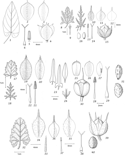 1–6Convolvuluskilimandschari1 leaf 2 outer sepal 3 inner sepal 4 calyx 5 stamen 6 ovary and style. From Gilbert 1086 (K) 7–16Convolvulusthunbergii7 leaf 8 leaf 9 bracteoles 10 outer sepal 11 middle sepal 12 inner sepal 13 stamen 14 ovary and style 15 capsule 16 seeds 7 & 10–14 from Schlieben 7092 (K) 8–9 & 15–16 from MacOwan 586 (K) 17–22Convolvuluscapensis17 leaf 18 leaf 19 outer sepal 20 inner sepal 21 stamen 22 ovary and style 17 from Drège s.n. (OXF) 18–22 from Bolus 9971 (K) 23–31Convolvulusdregeanus23 leaves 24 bracteoles 25 outer sepal 26 middle sepal 27 inner sepal 28 stamen 29 ovary and style 30 capsule 31 seeds. From Gemmell 7/11/1949 (K) 32–40Convolvulusargillicola32 leaf 33 bracteole 34 outer sepal 35 middle sepal 36 inner sepal 37 stamen 38 ovary and style 39 capsule 40 seed. From Seydel 4170 (K).