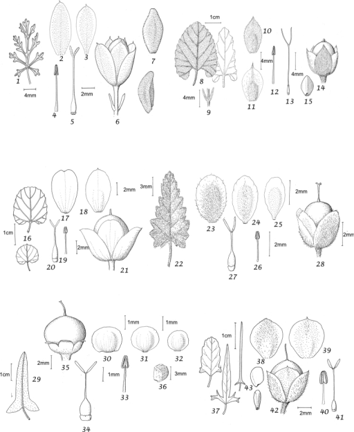 1–7Convolvuluslaciniatus1 leaf 2 outer sepal 3 inner sepal 4 stamen 5 ovary and style 6 capsule with calyx and bracteoles 7 seeds. From Wood et al. 22627 (K) 8–15Convolvulushermanniaesubsp.erosus8 leaves 9 bracteoles 10 outer sepal 11 inner sepal 12 stamen 13 ovary and style 14 capsule, apically hirsute 15 seeds. From Buchtien 15/11/1885 (OXF) 16–21Convolvulusmontanus16 leaves 17 outer sepal 18 inner sepal 19 stamen 20 ovary and style 21 calyx and capsule. From Tutin 1008 (BM) 22–28Convolvuluscrispifolius22 leaf 23 outer sepal 24 middle sepal 25 inner sepal 26 stamen 27 ovary and style 28 calyx and capsule. From Chinnock 2915 (AD) 29–36Convolvulusmicrosepalus29 leaf and bracteole (left) 30 outer sepal 31 middle sepal 32 inner sepal 33 stamen 34 ovary and style 35 calyx and capsule 36 seed. From Orchard 211 (AD) and Badman 32 (AD) 37–43Convolvulusangustissimus37 leaves showing three forms on same plant 38 outer sepal 39 inner sepal 40 stamen 41 ovary and style 42 calyx and capsule 43 seeds. From Spicer 31/1/1875 (OXF).