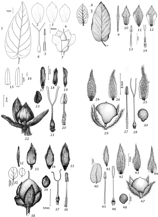 1–7Convolvulusmassonii1 leaf 2 outer sepal 3 middle sepal 4 inner sepal 5 stamen 6 ovary and style 7 capsule 1–4 & 6–7 from Mandon 180 (BM) 5 from Press & Short 446 (BM) 8–14Convolvuluscanariensis8 leaves, adaxial (right) and abaxial surfaces (left) 9 bracteole 10 outer sepal 11 middle sepal 12 inner sepal 13 stamen 14 ovary and style. From Bourgeau 1428 (C) 15–23Convolvulusfruticulosus15 leaves 16 bracteole 17 outer sepal 18 middle sepal 19 inner sepal 20 stamen 21 ovary and style 22 capsule 23 seed 15–21 from Bornműller 2612 (W) 22–23 from Perraudière 1429 (C) 24–30Convolvulusvalentinus24 outer sepal 25 middle sepal 26 inner sepal 27 stamen 28 ovary and style 29 capsule 30 seed 24–28 from Balansa 358 (W) 29–30 from Bourgeau 80 (GOET) 31–39Convolvulussabatius31 leaves 32 bracteole 33 outer sepal 34 middle sepal 35 inner sepal 36 stamen 37 ovary and style 38 capsule 39 seed. From Jahandiez 308 (E) 40–48Convolvulussupinus40 leaf 41 bracteole 42 outer sepal 43 middle sepal 44 inner sepal 45 stamen 46 ovary and style 47 capsule 48 seed 40 from Raymond 13k (RAB) 41–46 from Letourneaux 2 (C) 47–48 from Kralik 68 (C).