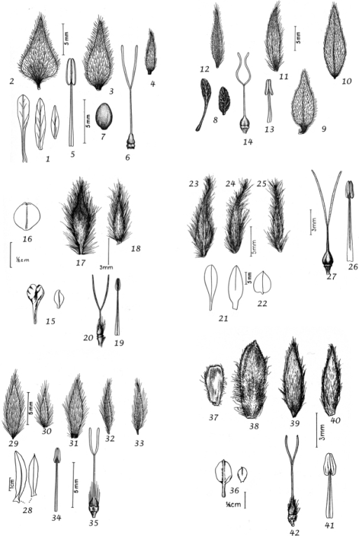 1–7Convolvuluslanatus1 leaves 2 bracteole 3 outer sepal 4 inner sepal 5 stamen 6 ovary and style 7 seed. From Khattam & Scharobeim 2923 (CAIM) 8–14Convolvulussecundus8 leaves 9 bracteole 10 outer sepal 11 middle sepal 12 inner sepal 13 stamen; ovary and style 8 from Eig & Grizl (CAIM) 9–14 from Täckholm s.n. (CAI) 15–20Convolvulusulicinus15 leaves 16 bracteole 17 outer sepal 18 inner sepal 19 stamen 20 ovary and style. From Aucher-Eloy 3936 (W) 21–27Convolvulusoxysepalus 21leaves 22 bract 23 outer sepal 24 middle sepal 25 inner sepal 26 stamen 27 ovary and style. From Rechinger 3211 (E) 28–35Convolvulusoxyphyllussubsp.oxyphyllus28 leaves 29 bract 30 bracteole 31 outer sepal 32 middle sepal 33 inner sepal 34 stamen 35 ovary and style. From Rechinger 9639 (W) 36–42Convolvulushamrinensis36 leaves 37 bracteole 38 outer sepal. From Rechinger 8083 (W).