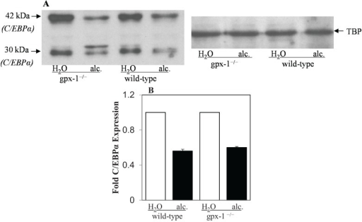 Liver C/EBPα protein expression. (A) Nuclear cell lysates isolated from the livers of H2O or ethanol (alc.)-fed wild-type and gpx-1−/− transgenic mice were employed to detect C/EBPα protein expression by western blotting. An anti-TATA-binding protein (TBP) antibody was used to demonstrate equal nuclear protein loading. (B) C/EBPα protein (30 kDa and 42 kDa) expression was quantified by densitometric analysis and normalized to TBP expression. Normalized expression in H2O or alcohol-fed gpx-1−/− and alcohol-fed wild-type mice was expressed as fold expression of that in H2O-fed wild-type mice.
