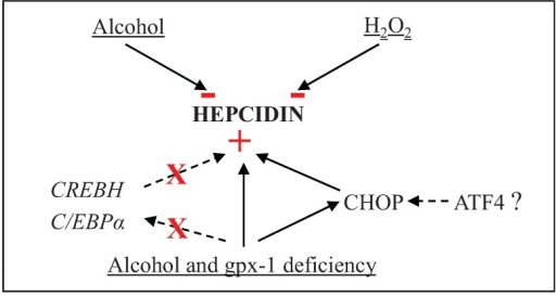 H2O2 and/or alcohol-mediated regulation of hepatic hepcidin gene expression. The signs, − and + indicate inhibition and induction of gene expression, respectively, and X represents the lack of CREBH or C/EBPα involvement in the induction of hepatic hepcidin gene expression.