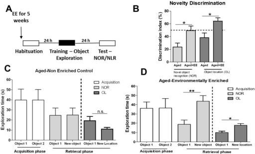 Environmental enrichment restores memory formation in aged adults. (A) Aged adults experience a 5-week EE protocol prior to behavioral experiments. Age-matched non-enriched controls received similar handling procedures; (B) A Novelty discrimination index indicate that memory impairment in aged adults was rescued with EE. Object exploration during training and testing phases (NOR and OL) for non-enriched aged controls (C) and aged-enriched adults (D) are presented as the total duration, in seconds, of exploration. Objects 1 and 2 represent the sample objects during acquisition. During the retrieval phase, object 1 represents the familiar object or familiar object location. Group sizes NOR: Aged, n = 5; Aged + EE, n = 6; OL: Aged, n = 4; Aged + EE, n = 5. Student's t-test; *p < 0.05 between indicated groups. *p < 0.05, **p < 0.01 between indicated groups. Error bars represent SEM.