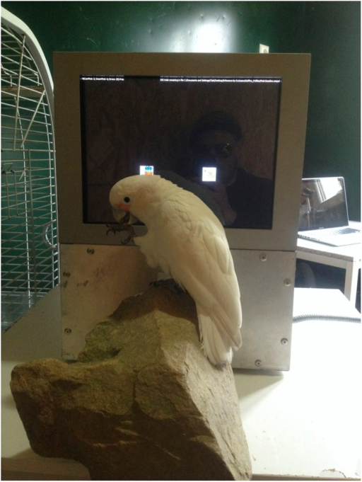 Experimental setup.Individual perching on the pedestal stone in front of the touch screen.