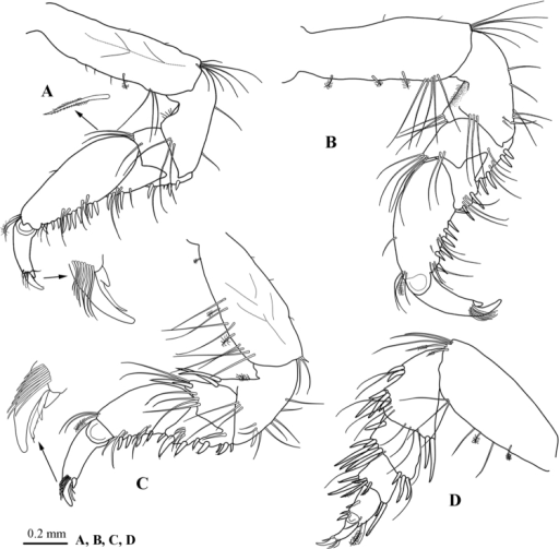 Atarbolanamakranensis sp. n., male, holotype (ZMH–K–42597). A–D pereopods 1–4 respectively.