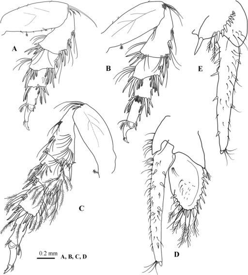 Atarbolanamakranensis sp. n., male, holotype (ZMH–K–42597). A–C pereopods 5–7 respectively D uropod dorsal view E uropod ventral view.