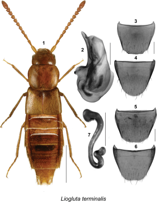 Lioglutaterminalis (Casey): 1 habitus in dorsal view 2 median lobe of aedeagus in lateral view 3 male tergite VIII 4 male sternite VIII 5 female tergite VIII 6 female sternite VIII 7 spermatheca. Scale bar of habitus = 1 mm, remaining scale bars = 0.2 mm.