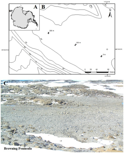 (A) Location of Browning Peninsula, Windmill Islands, Eastern Antarctica. (B) The spatially explicit design of sampling along three parallel transects, each 2 m apart. The sampling points were taken at 0, 2, 100, 102, 200, and 202 m distances along all three transects. (C) The photograph depicts a close up of Browning Peninsula.