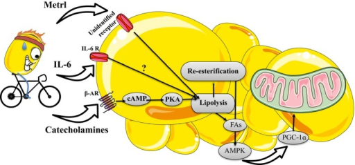 Exercise stimulates secretion of catecholamines, interleukin‐6, and meteorin‐like (metrl). Catecholamines bind to β‐adrenergic receptors on the adipocyte to stimulate lipolysis through a PKA‐mediated pathway. IL‐6 stimulates lipolysis, though speculation remains regarding the precise mechanisms. Metrl indirectly drives lipolysis by modulating the secretion of catecholamines from adipose tissue macrophages. These factors activate lipolysis and consequently re‐esterification. This increases AMP‐activated protein kinase activity, the expression of PGC‐1ɑ and mitochondrial biogenesis. Figure clipart provided by Servier Medical Art (www.servier.com).