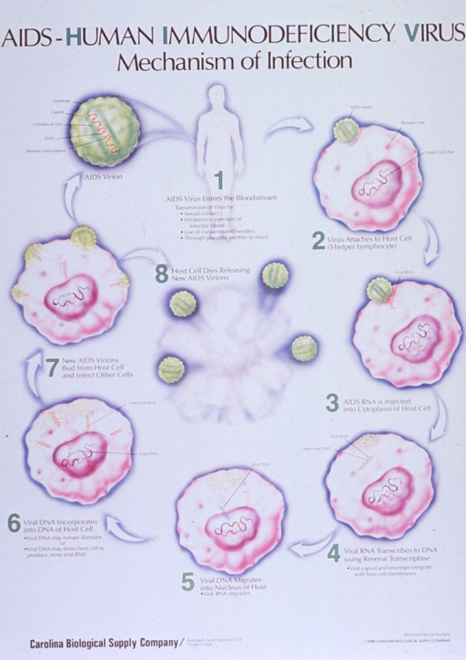 <p>Predominantly white poster with black and green lettering.  Title at top of poster.  Visual images are illustrations of a human body and representations of the AIDS virion as it invades host cells and replicates.  Additional text on poster explains eight steps in that process.  Publisher information in lower left corner.</p>