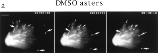 Video analysis of seed movement on DMSO asters. (a) Successive video frames at 20-s intervals showing that individual seeds  move poleward. (b) Rates of seed movement over 5-s intervals and distances of individual seeds from the pole over time. (c) Polarity-marked microtubule seeds are oriented with their minus ends directed toward the center of the aster and its focus of microtubule minus  ends. Bars: (a) 5 μm; (c) 8 μm.