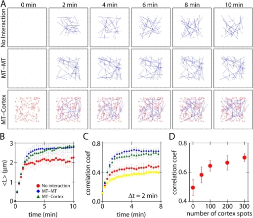 Stochastic simulation of microtubule network formation. (A) Simulated microtubule dynamics with or without plus end stabilization. Stabilization was simulated by an increase in rescue frequency when the plus end encountered another microtubule (MT–MT) or randomly distributed cortical spots (MT–cortex). Microtubules form a steady-state pattern in the presence of either microtubule–microtubule or microtubule–cortex interactions. Blue lines represent microtubules; red circles represent cortical stabilization points. See Videos 7 and 8 (available at http://www.jcb.org/cgi/content/full/jcb.200505071/DC1). (B) The mean lengths of microtubules in each simulation (n = 10 simulations). (C) Formation of steady-state networks was measured by the correlation between two time steps separated by Δt = 2 min (see Materials and methods for details). Symbols are the same as in B. Background correlation coefficients (squares) were calculated between two unrelated simulations. Correlation coefficients are highest for simulated microtubule networks with stabilization points. (D) The effect of increasing the number of cortical stabilization points on the correlation coefficient. Δt = 2 min. Error bars represent SD.