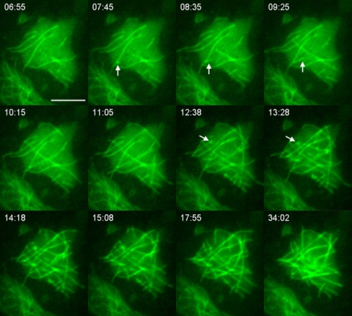Assembly of the microtubule network in a basal cytoplast. In a basal cytoplast that had only a few microtubules remaining after sonication, microtubules assembled into a steady-state network in ∼10 min. The network had a similar appearance 15 min after the assembly (compare the last two panels), indicating that it had reached a steady state. Arrows indicate examples of microtubules arising from the sides of other microtubules. Bar, 5 μm.