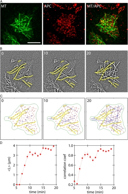 Stochastic simulation based on an in situ microtubule network. (A) Retrospective staining of APC for the microtubule network shown in Fig. 8. The location of the APC spots are used in the simulation below. Bar, 5 μm. (B) Although new microtubules added to the network, the original microtubules remained in place (marked in yellow). Time is given in minutes. (C) Stochastic simulation based on the in situ patch. Yellow filaments are preexisting microtubules; red dots are APC spots derived from the retrospective image; blue circles are nucleation sites derived from the in situ patch; blue lines represent microtubules. (D) The mean lengths of newly added microtubules and correlation coefficients of the simulated microtubule network. The curve levels off at a high correlation at 15 min, indicating that the network has reached a steady state. Error bars represent SD.