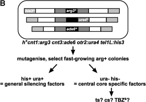 A genetic screen to identify mutants that alleviate silencing in the centromere central core. (A) S. pombe centromere 1. (Top) Central core (cnt1 and inner part of imr1L and imr1R) surrounded by outer repeat regions (otr). Vertical lines indicate the position of tRNA genes at the transition point between the two domains (Partridge et al., 2000). (Bottom) Structure of the arg3+ insertion at the central core. Restriction sites: N, NcoI; C, ClaI; E, EcoRI. (B) Diagram of strain FY3027 used to isolate mutants defective in central core silencing, showing insertion sites of marker genes used to assay silencing. (C) Serial dilutions of S. pombe strains to assay silencing at various loci. The first spot contains 5 × 103 cells followed by fivefold dilutions. Plates were incubated at 25°C for 3–7 d. Assessment of growth on YES at 36°C and YES containing 0, 10, or 15 mg/ml TBZ at 25°C. (D) RT-PCR of ura4 transcripts from random integrant (Rint), cnt1, and otr1 insertion sites, compared with a ura4 minigene control (ura4-DSE) at the endogenous locus. Strains analyzed were FY4835, 4837, 4841, 5711, 5717, 5674, 5695, 5719, 5683, 5714, 5720, and 5688. (E) Quantification of RT-PCR shown in D. The levels of transcripts normalized to ura4-DSE are expressed relative to the wild type at 25°C for each ura4+ insertion site, Rint, cnt1, and otr1.
