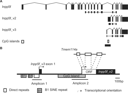 Genomic and transcriptional organization at the Inpp5f locus. (A) Exonic structure of Inpp5f, Inpp5f_v2 and Inpp5f_v3. Exons are black rectangles and splice patterns are indicated. The RT-PCR products for the allele-specific assays in Figure 2 are indicated below each transcript. The positions of two CpG islands are shown at the bottom, and the region enlarged in panel B is indicated by a thick horizontal line. (B) Genomic features within Inpp5f intron fifteen. The ORF within the first exon of Inpp5f_v2 is a retrotransposed duplicate of the X-linked Tmem114a gene. The two internal promoters are represented by arrows. The region upstream of Inpp5f_v3 is rich in repeats, which are examined further in Figure 3. Amplicon 1 and Amplicon 2 denote the regions within which DNA methylation is examined in Figure 4.