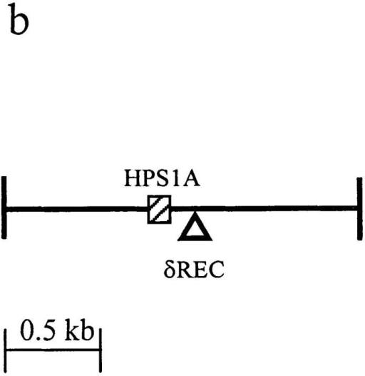 Schematic representation of the δ deletion transgenic constructs. (a) Map of TG1. The vertical bars represent cloning sites in the construction  of TG1 (21). (b) Magnification of the 1.9-kb SalI–XhoI fragment of TG1. The black box represents the 48-bp segment HPS1A, the region of DNA deleted to make TG2.