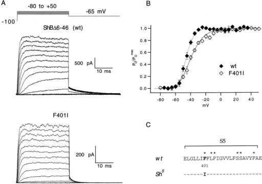 Steady state voltage dependence of the wild-type ShBΔ6-46 K channel and the F401I mutant. (A) Activation families were elicited from the holding potential of −100 mV with steps in 10-mV increments between −80 to +50 mV, and tail currents were recorded at −65 mV, as indicated schematically above the traces. Patch-clamp records were obtained in the inside-out excised configuration (Hamill et al. 1981), digitized at 20 kHz, and low-pass filtered at 8 (wt) or 3 (F401I) kHz. (B) Relative conductance is plotted versus voltage. Conductances were normalized to the maximal value in each family and the results from different patches were averaged to obtain the means and standard errors shown (wt: n = 5; F401I: n = 6). Averaged G(V) curves were fit with the fourth power of a Boltzmann function (see methods). The apparent gating valence per subunit from these fits is reduced from 4.18 e0 for the wild type to 2.40 e0 for F401I. V1/2 parameters from the fits are −56.3 mV for wt and −57.6 mV for F401I. (C) The amino acid sequence difference between wild-type Shaker and the neomorphic Sh5 allele is localized to a single substitution in the S5 region: phenylalanine is mutated to isoleucine at position 401 (Gautam and Tanouye 1990; Lichtinghagen et al. 1990). The sequence is shown using the standard single-letter amino acid code; dashes in the Sh5 sequence indicate amino acid identity with wt. Asterisks mark the residues that were mutated in this study.