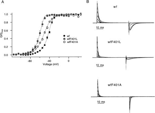(A) Model description of the steady state gating charge movement. The averaged Q(V) curves for the wf, wfF401L, and wfF401A channels are replotted from Fig. 9. Fits of the model in Fig. 14 are shown superimposed as solid lines. These were obtained by integrating the simulated OFF gating currents at −100 mV, low-pass filtered at 10 kHz, following steps to the test potentials shown on the x axis in 2-mV increments and normalizing by the charge obtained at the most positive voltages. This analysis follows the normal procedure we use for the experimental data. (B) Comparison of gating current kinetics with the model predictions. Representative families of gating currents from oocytes containing wf (top, from −80 to +40 mV), wfF401L (middle, −80 to +40 mV), and wfF401A (bottom, −95 to +25 mV) channels are shown. Voltage increment is 20 mV in each case. Simulated gating currents are superimposed (thin lines). Models shown in Fig. 14 were used for the three channels, with the following modifications to obtain better fits to these experimental families: in the wf model, λ0 = 101 s−1; in the F401L model, λ0 = 39 s−1; and in the F401A model, κ0 = 3,500 s−1, λ0 = 8,000 s−1, and zγ = 0.8 e0.