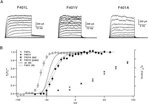 "Aliphatic side-chain substitutions at position 401 affect the steady state voltage dependence of activation. (A) Families of macroscopic currents from patches expressing (left to right) F401L, F401V, and F401A channels were recorded as in Fig. 1. The voltage ranges for the three families were as follows (step increment in parentheses): −85 to +25 mV (10 mV) for F401L, −80 to +60 mV (10 mV) for F401V, and −80 to +160 mV (20 mV) for F401A. Note the faster time scale for the F401A family used to resolve its kinetic features. (B) Relative conductance versus voltage relationships for the three mutants are shown. For comparison, fits to G(V) curves for the wt and F401I channels are reproduced from Fig. 1. F401L and F401V data are plotted as means ± SEM of eight and nine families, respectively. Averaged G(V) data were fitted with the fourth power of a Boltzmann function, as previously described, giving apparent z of 4.25 and 2.52 e0, and V1/2 of −69.7 and −53.1 mV for F401L and F401V, respectively. For the F401A experiment shown (representative of 11 patches), G(V) was measured either as the chord conductance assuming the reversal potential of −80 mV (denoted ""pulse""), or as the isochronal tail current amplitude (denoted ""tail""). The characteristic failure of the steady state conductance to reach a maximum within the attainable voltage range prevented meaningful normalization of the F401A G(V)."