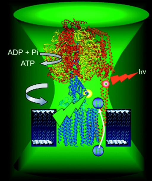 ATP synthase turns one way to make ATP and the other to break it down.Börsch
