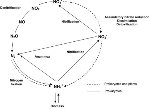 N-cycle scheme. NO3- is used as nitrogen source for growth under aerobic conditions using an assimilatory NO3- reductase, while it acts as an electron acceptor to eliminate excess of reductant power through dissimilatory NO3- reduction. Dissimilatory NO3- reduction, NO3- respiration or denitrification are often used equivalently in the literature. However, dissimilatory pathway makes reference to non-assimilatory reactions that are not directly coupled to generation of proton-motive force. In some Enterobacteriaceae, NO2- is reduced to NH4+ which is then excreted; this process is known as NO3-/NO2- ammonification. Specialised organisms are able to oxidize either NH4+ or NO2- by using a pathway called nitrification, while other organisms such as some planctomycetes oxidize NH4+ and utilize NO2- as respiratory electron acceptor in a pathway named anammox. Finally, (di)nitrogen fixation allows several bacteria and archaea to reduce N2 to NH4+ to provide N-requirements.