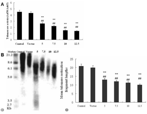 Effects of shRNA on telomere length and telomerase activity in Colo 320 cells. A. Representative the concentration-course analysis of telomerase activity, each groups cells were mixed with 1 ml TBA solution for preparation of protein extract and 1 μg protein was subjected to TRAP assay. After hybridization and ELISA procedure, the absorbance of the samples at 450 nm was measured. The cells were subjected to no treatment (control), pGenesil-vector group, 5, 7.5, 10, 12.5 μM shRNA for 48 h. B. Mean telomere restriction fragment length was detected by RT-PCR with different treatments by Southern analysis as described under Materials and methods. Typical Southern blot results for telomere restriction fragments. Locations of the base pair markers on the DNA ladder are indicated along the left side. Significant difference was observed between the mean telomere lengths of the control and shRNA-transfected groups cells. All data were obtained from three independent experiments. Error bars represent means ± SEM. Significantly different from the corresponding control (**P < 0.01, vs control. ##P < 0.01, vs vector).