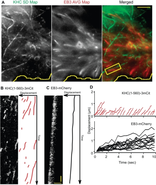 Preferential motility of Kinesin-1 does not occur on dynamic microtubules marked by EB3.(A) Two-color TIRF imaging of a COS cell coexpressing KHC(1-560)-3xmCit and EB3-mCherry. After imaging, a SD Map of KHC(1-560)-3xmCit motility events (KHC SD Map) and an average map of the EB3-mCherry fluorescence (EB3 AVG Map) were created and merged (Merged). Yellow line, edge of cell. Scale bar, 4 µm. In the boxed region, multiple KHC(1-560)-3xmCit motility events can be observed to occur adjacent to an EB3-mCherry-marked microtubule. (B) The KHC(1-560)-3xmCit motility events in the boxed region of (A) are depicted in the kymograph (left) and schematic representation (right). (C) Movement of EB3-mCherry in the boxed region of (A) is depicted in the kymograph (left) and schematic representation (right). Vertical scale bar, 0.5 s. Horizontal scale bar, 2 µm. (D) Schematic summary of the displacement over time of multiple KHC(1-560)-3xmCit motors and EB3-mCherry plus-ends in the cell in (A).