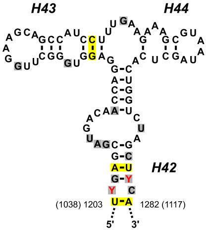 Sequence and structure of the LSU rRNA region that bind ...