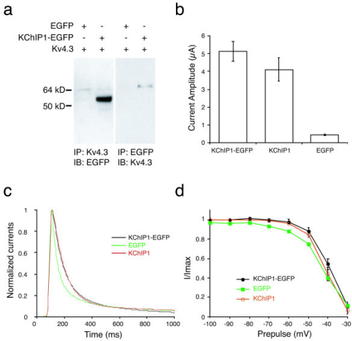 KChIP1 inhibits potassium currents in cultured hippocampal neurons. a: Co-immunoprecipitation of Kv4.3 and KChIP1-EGFP. HEK293 cell lysates co-expressing Flag-tagged Kv4.3 and KChIP1-EGFP were immunoprecipitated with an anti-Flag antibody (left panel; IP: Kv4.3) or an anti-EGFP antibody (right panel; IP: EGFP) followed by immunoblotting with anti-EGFP (left panel; IB: EGFP) or anti-Flag (right panel; IB: Kv4.3), respectively. b: Potentiation of Kv4.3 current density by Kv4.3-EGFP in Xenopus oocytes. Kv4.3 was co-expressed with either KChIP1-EGFP fusion protein, KChIP1, or EGFP in Xenopus oocytes. KChIP1-EGFP and KChIP1 but not EGFP significantly increased Kv4.3 current density (*P < 0.001). c, d: KChIP1-EGFP modulates inactivation of Kv4.3 in Xenopus oocytes. Kv4.3 was co-expressed with either KChIP1-EGFP fusion protein (black line), KChIP1 (red line), or EGFP (green line) in Xenopus oocytes. Expression of KChIP1-EGFP or KChIP1 enhanced inactivation of Kv4.3 from both the open state (c) and the closed state (d) compared with EGFP alone.