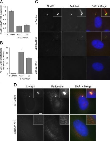 siRNA-mediated depletion of KIAA1731 leads to loss of centrosome markers in hTERT-RPE1 cells. (A) qRT-PCR analysis showing depletion of KIAA1731 mRNA by two different siRNA duplexes. Results are expressed relative to the negative control siRNA and represent the mean ± SD of triplicate assays. (B) Quantification of cells in which immunostaining of centriolar acetylated tubulin and either ALMS1 or γ-tubulin was undetectable. The mean of three independent experiments is shown; in each experiment 100–300 cells were counted for each condition. Error bars, SE. (C) Examples of siRNA-treated cells costained with antibodies to ALMS1 and acetylated tubulin. The middle and bottom panels show cells with markedly diminished and undetectable immunostaining, respectively. (D) siRNA-treated cells costained with antibodies against C-Nap1 and pericentrin, showing loss of both markers in a cell treated with KIAA1731-directed siRNA. Size bars, 5 μm.
