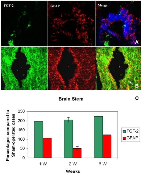 Double labeling of FGF-2 and GFAP in brain stem after 1 week of lesion. (A) Sham operated (B) Lesioned cases. Intense FGF-2 and GFAP immunoreactivity is obvious in cells lining the fourth ventricle and cells surrounding them compared to sham-operated animals. The blue color in upper panel is a nuclear marker and orange color in lower panel (arrow) shows the colocalization between FGF-2 and GFAP showing the presence of FGF-2 in glial cells ×63. (C) Percentages of labeling intensity of FGF-2 and GFAP immunoreactivity compared to sham-operated cases in Brain Stem. The graph shows significant increase in FGF-2.ocalization, which was time-dependent within 1, 2, and 6 weeks after spinal cord lesion. GFAP slightly increased in week 6.