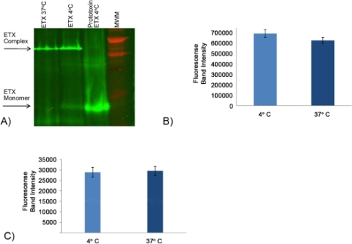 Analysis of temperature effects on ETX binding and complex formation in MDCK II cells.A) ETX complex formation. MDCK II cells were treated with 10 µg of AF448-ETX for 60 min at 4°C or 37°C and then electrophoresed and quantitatively imaged (see Materials and Methods). Arrows indicate, as specified, migration of the ∼155 kDa ETX complex or the ∼30 kDa ETX monomer. B) Quantitative analysis of ETX binding at 4°C vs. 37°C. MDCK II cells were treated with 10 µg of AF488-ETX for 60 min at 4°C or 37°C. After electrophoresis of cell lysates, total AF488-ETX present in the gel i.e. AF488-ETX bound in complex or as monomer, was quantified by fluorescence scanning. Shown are the average results from 4 gel scans. C) Quantitative analysis of ETX complex formation. MDCK II cells were treated with 10 µg of ETX for 60 min at 4°C or 37°C. The amount of fluorescence specifically present in gel regions containing AF488-ETX bound in the ETX complex was determined. Shown are the mean values from 4 experiments.