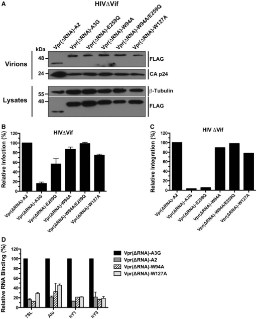 Fusion to the RNA-binding defective Vpr14–86 polyprotein [Vpr(ΔRNA)] does not restore the restriction potential of the W94A and W127A mutants. (A) Analysis of the packaging of all Vpr(ΔRNA)-A3G fusion proteins into HIVΔVif virions. (B) Antiretroviral activities of Vpr(ΔRNA)-A3G fusion proteins on HIVΔVif. (C) Evaluation of the RNA-binding properties of VprΔRNA) fusion proteins. Data represent the mean ± SD of triplicate values from three independent experiments. (D) Effect of Vpr(ΔRNA) fusion proteins on HIVΔVif proviral integration. The results reflect the mean RQ of one experiment performed in quadruplicate. Data were normalized to Vpr-A2 values.
